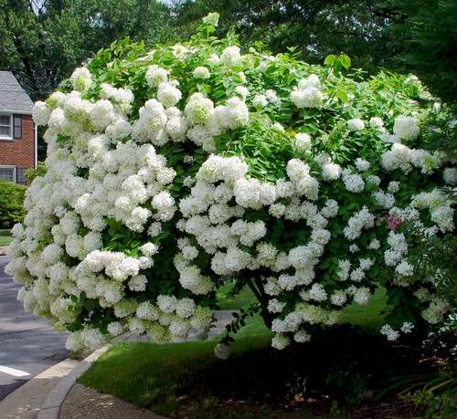 Hydrangea Paniculata- PeeGee Hydrangea- Floers tend to turn pink as they age.