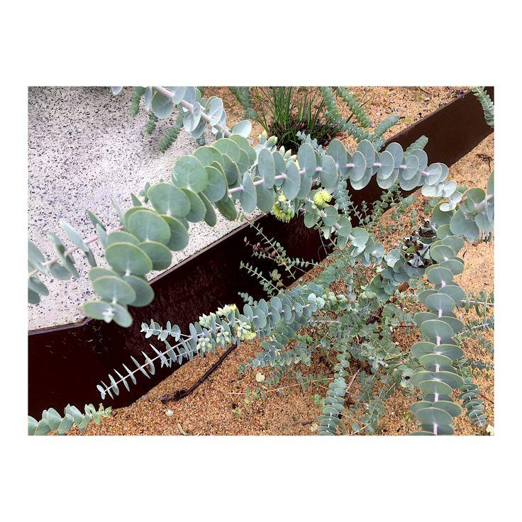 Eucalyptus kruseana (foliage detail)