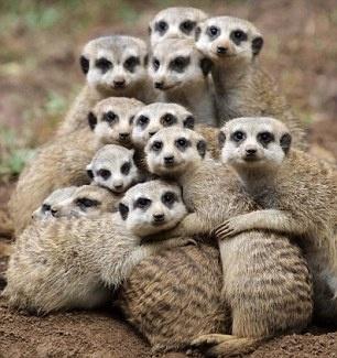 Free photo: Meerkat, Meerkats, Family, Group - Free Image on ...
