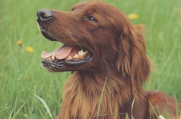 Races de chiens: Setter Irlandais - Frawsy