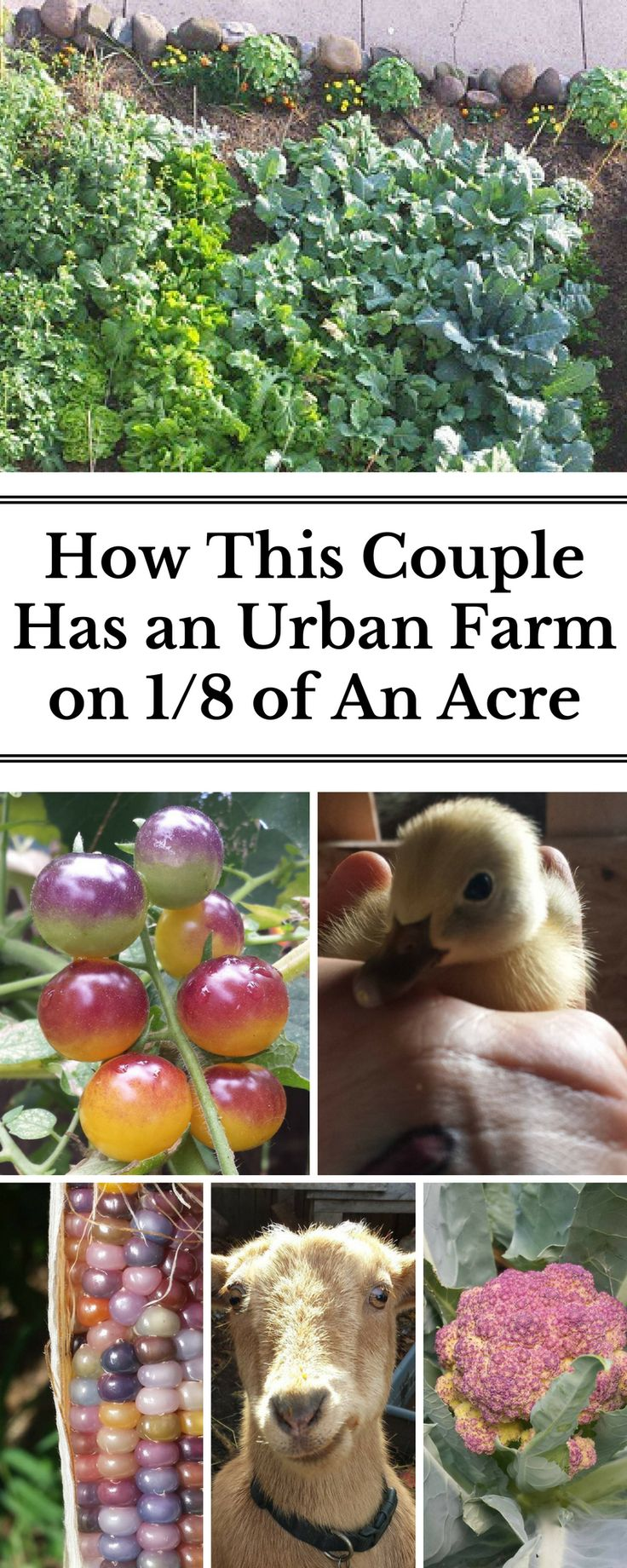 Get tips for growing your own food and raising animals in a small space, including how to utilize your front yard. Husband and wife team, Amie and Josh, garden and raise chickens, ducks, rabbits, goats and two dogs on ⅛ acre in an urban setting while both working full time.