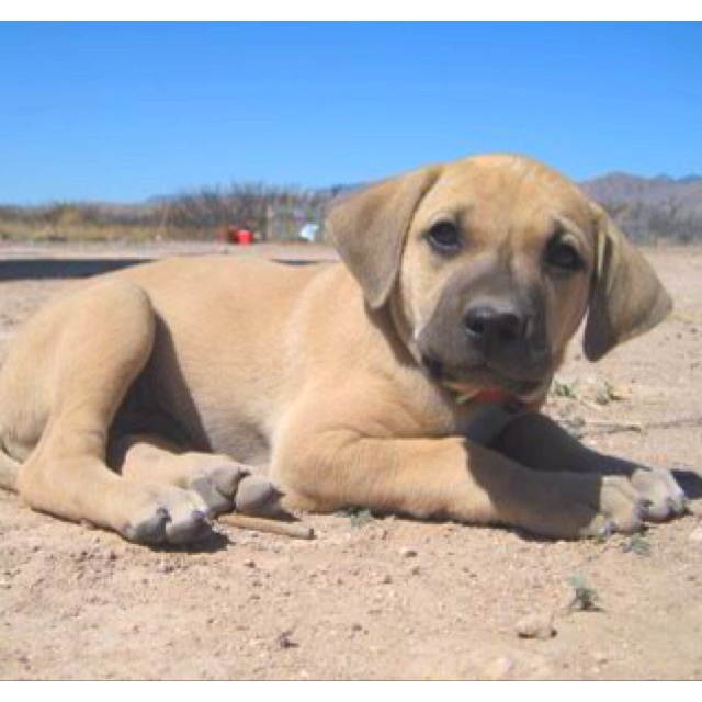 Black mouth cur puppy