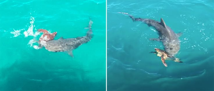 Very few ocean animals stand a chance against a shark's powerful bite. But this sea turtle outsmarted a shark attack with just the use of his shell.