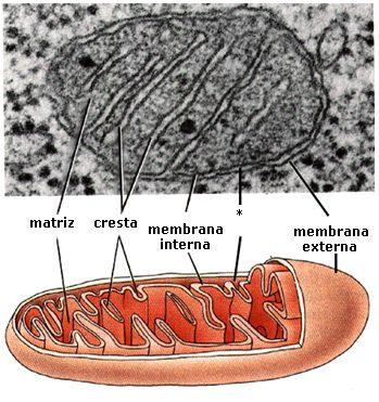 Mitocondria MET