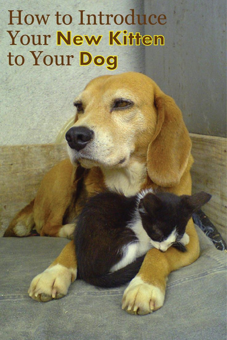 Introducing your new cat to your dog(s). Seems helpful, I'm going to give it a shot!