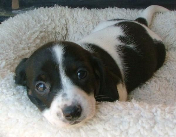 Too cute for words...a piebald dachshund. I want!