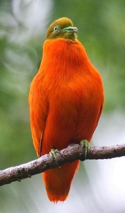 El tilopo naranja (Ptilinopus victor) Una de las palomas ...