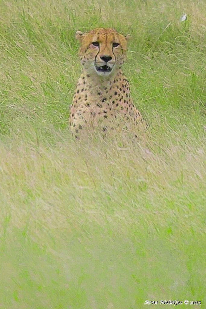 https://flic.kr/p/w4aDeS   IMG06001fb   Cheetah