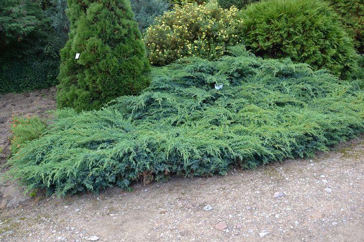 17 best images about juniperus squamata on pinterest shops sun and shrubs - Juniperus squamata blue carpet ...