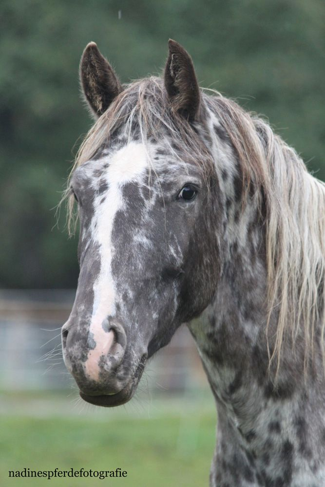 Appaloosa horse - DREA FIRE FRANGELICA, 100% Foundation Appaloosa mare, black…looks like a dappleloosa….