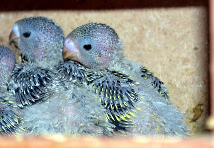 One of the many things that you did to show us kids what it takes to see things come alive... Baby Parakeets