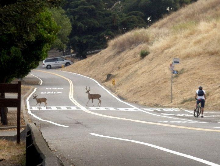 Berkeley deer using the crosswalk!