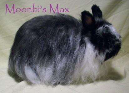 Beautiful Jersey Wooly rabbit
