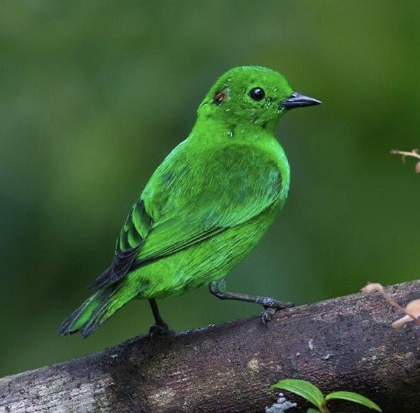 Glistening Green Tanager Chlorochrysa Phoenicatis Color Green Parrot