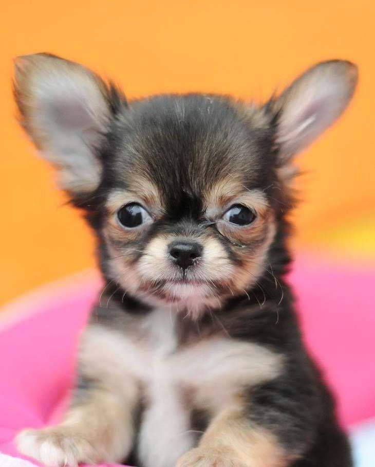 """Will you play with me?""...   Find more cute pictures of #Chihuahuas by clicking on this picture as well as here... http://www.fundogpics.com/pictures-of-chihuahuas.html"