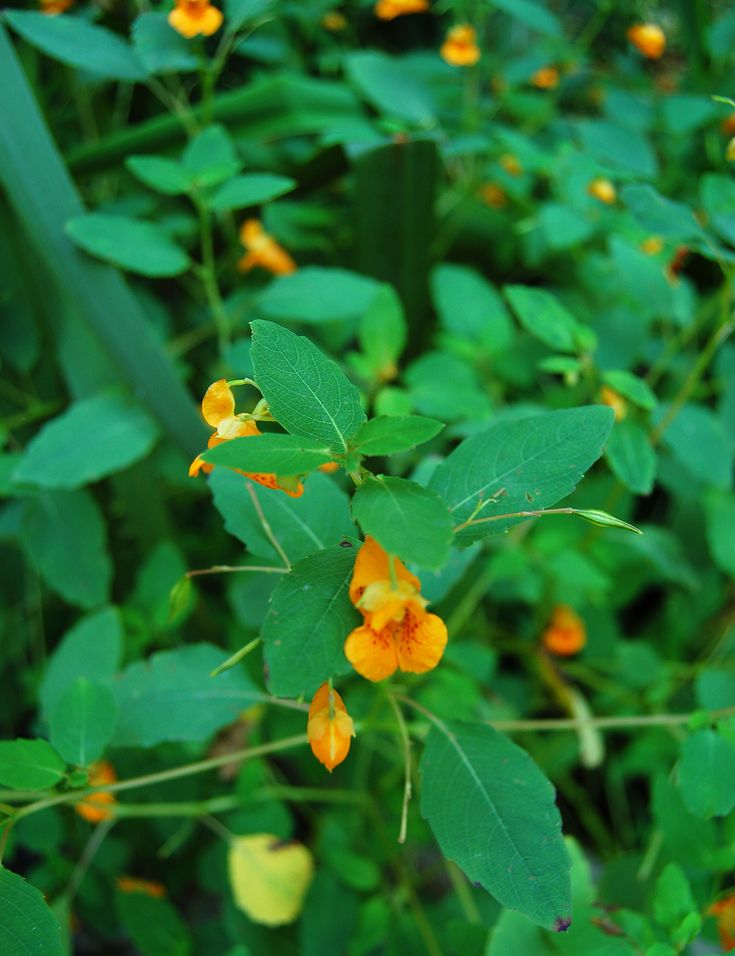jewelweed (touch-me-not) poison ivy remedy