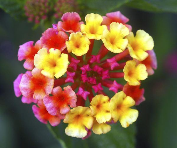Where Are The Seeds In A Lantana Shrub Lantana Flower Lantana Plant Yellow Flowers