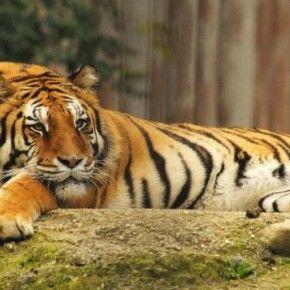 Senza un 'Consumption Change' le tigri sono a rischio estinzione, in pericolo anche 440 specie di mammiferi tra cui panda e rinoceronti.