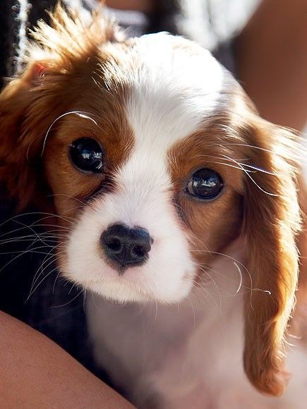 cocker spaniel eyes 17 best ideas about brittany spaniel puppies on pinterest 6846