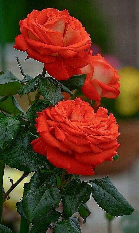 ♡♡Gyönyörű rózsák.♡♡
