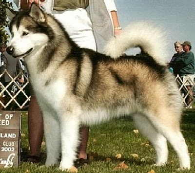 alaskan malamute. big and beautiful
