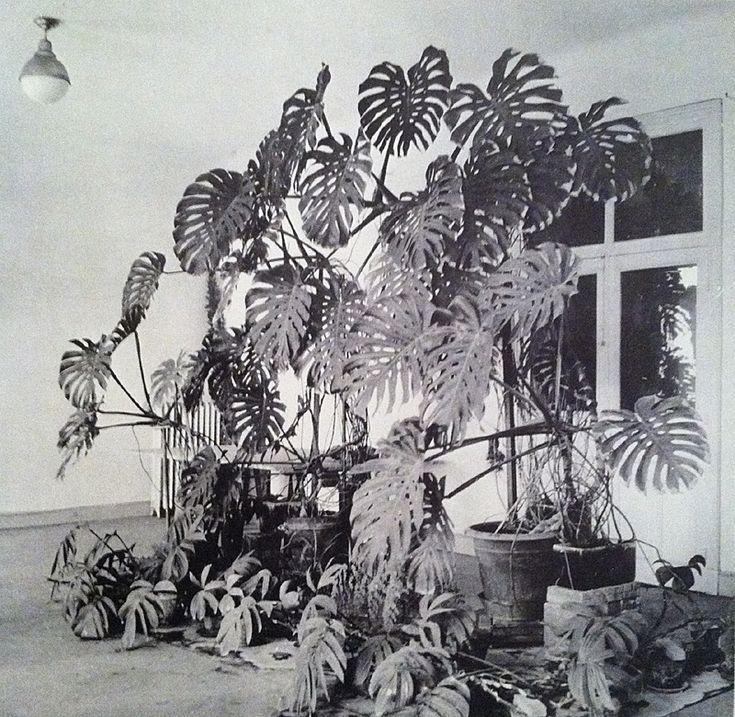 amazing display of Monstera deliciosa in the studio of Henri Matisse:  Henri Matisse's studio, Hotel Regina, Nice, 1948