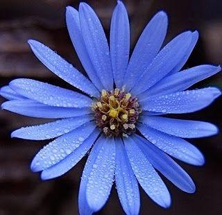 inkspired musings: Aster September Birthday Flower