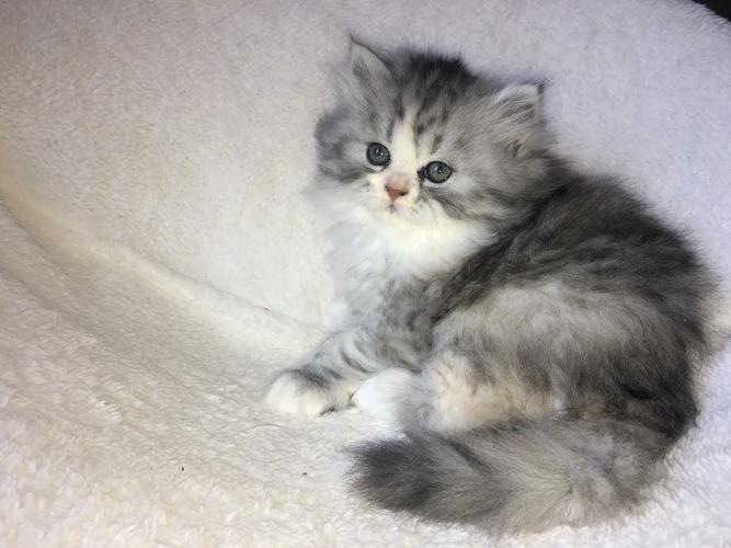 Pennysaver Teacup Persian Kittens In Orange California Usa Met Afbeeldingen