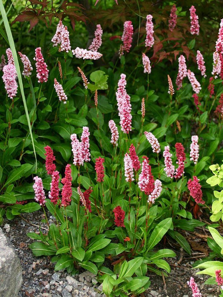 Bergormrot, Bistorta affinis 'Darjeeling Red', är en av mina absoluta favoriter. Den har så många kvalitéer. Det är en vintergrön art från Nepal som bildar stora mattor. På vintern blir bladen bronsfärgade. Den sprider sig med hjälp av krypande...