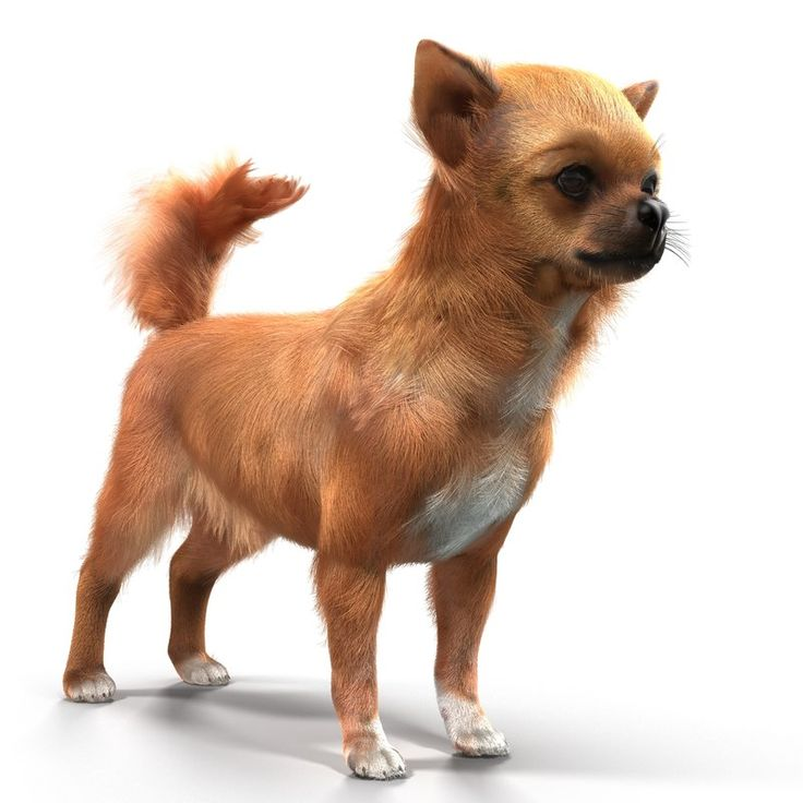 Chihuahua with Fur 3D model