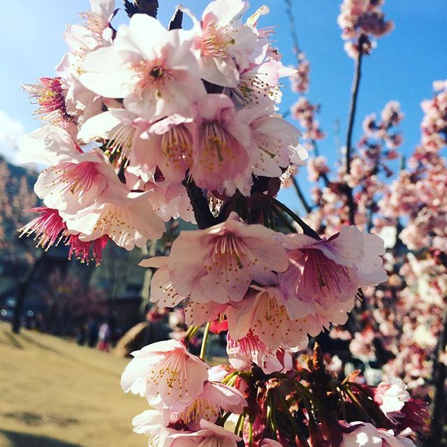 【monarisarisa】さんのInstagramをピンしています。 《In Atami, the early-blooming cherry trees are already flowering. 🌸 「熱海桜」は日本で1番早咲きの桜です。💗😊💗 #amazing#good#nice#happy#flowers#cherryblossom#sakura#atami#atamisakura#beautiful#love#my#travel#japan#日々#幸せ#感謝#笑顔#熱海#熱海桜#桜#満開》