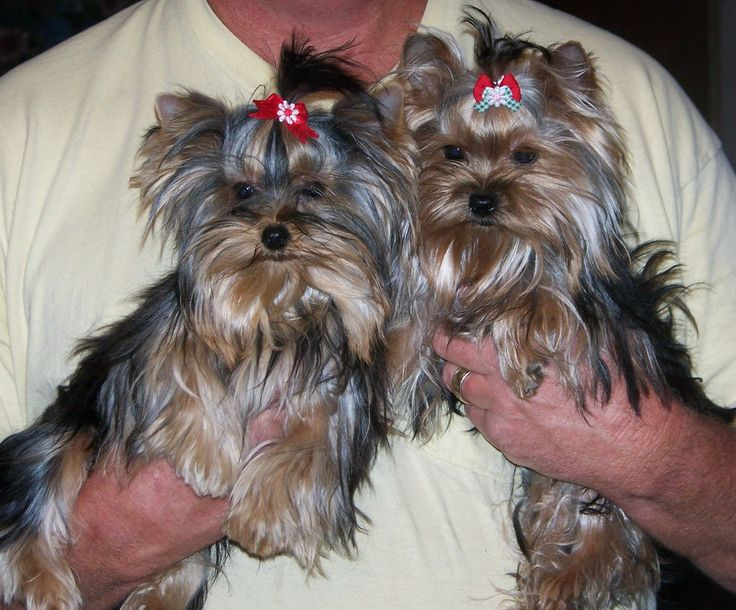 Free Yorkie puppies or dogs | Here they are together