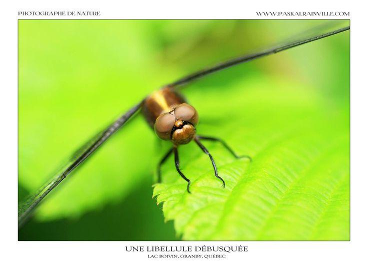 Une libellule débusquée Prise à Granby, Québec, Canada http://www.paskalrainville.com/