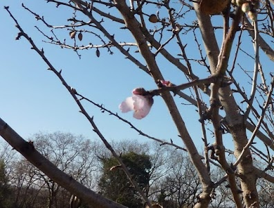 One single almond blossom on the 18th February 2012 - a good sign