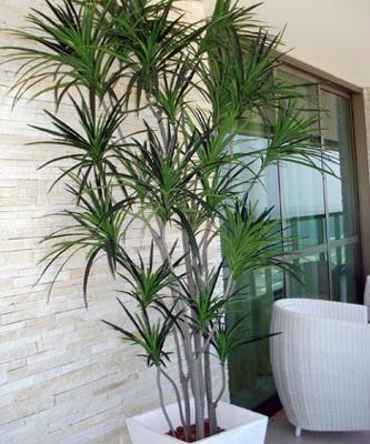Como cuidar de uma Dracena. A Dracena é um tipo de planta arbórea, sendo que as mais comuns são as que tem porte relativo à arbustos. As Dracenas são conhecidas por serem muito comuns em escritórios ou ambientes domésticos por a...