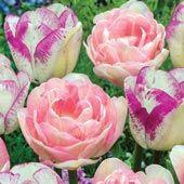 Happy Together Tulip Duet