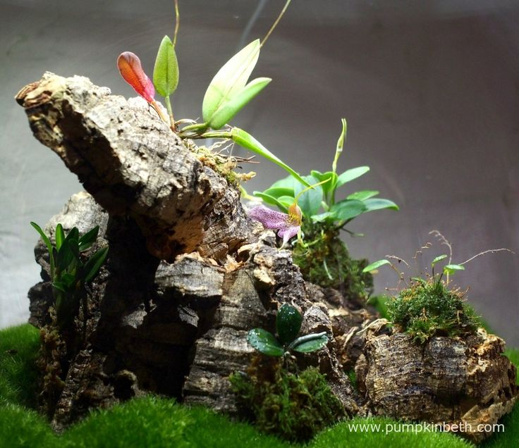 A close up of my Miniature Orchid Trial BiOrbAir Terrarium, as pictured on the 26th January 2016. The first flower on my Masdevallia decumana opened today. Inside this terrarium Lepanthopsis astrophora 'Stalky' has flower buds which will open any day now, and Domingoa purpurea is also in the early stages of producing flowers.
