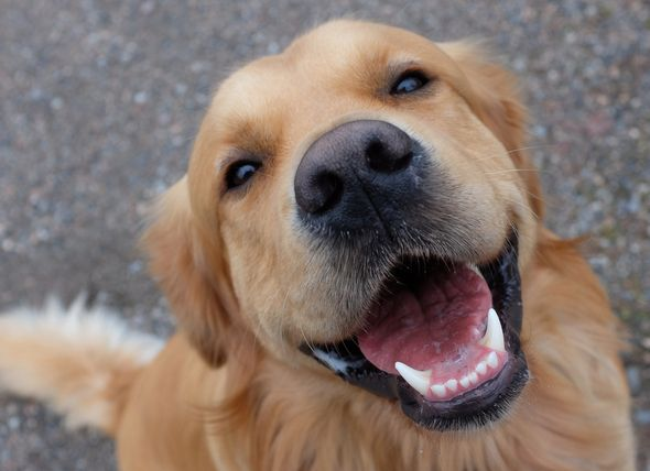 Do Dogs Smile The Science Behind The Looks We Get From A Happy