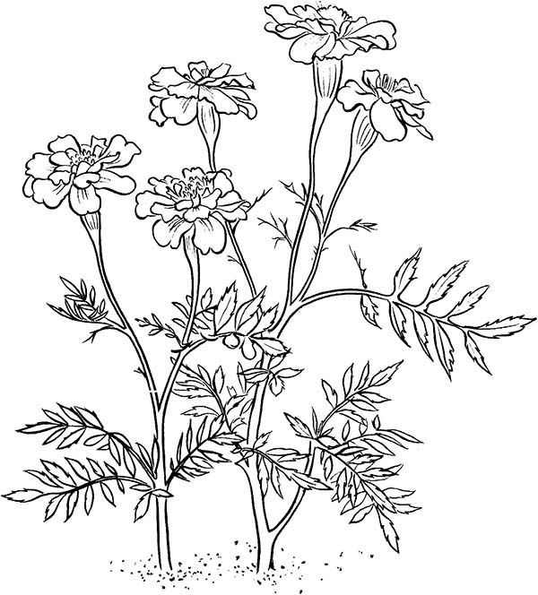 Carnation Flower Coloring Pages Also See The Category To Find