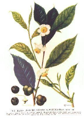 Camellia sinensis (Theaceae)