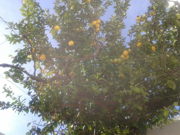 So much fruit on the #Lindos Office lemon tree -- what do do with them?