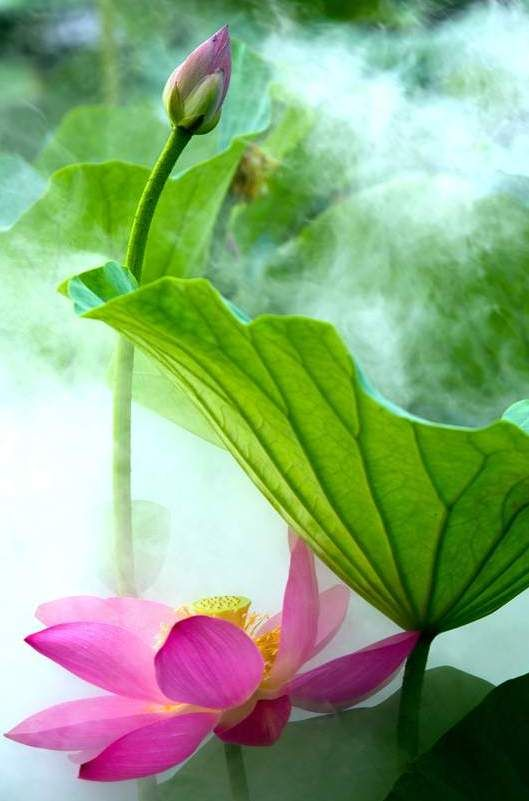 224 best flowers lotus water lilies images on pinterest lotus egyptians scholars observed that in the night time the lotus closed its flowers and sank mightylinksfo