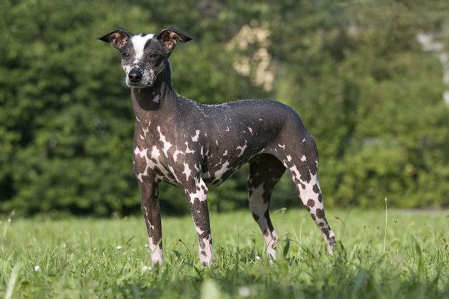 Peruvian Inca Orchid dog: Animals, Chocolate, Dogs, Orchids, Hairless Dog, Photo, Dog Breeds