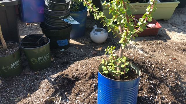 Repotting Elephant Bush