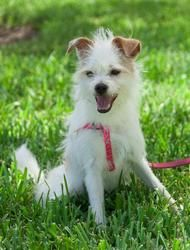 Pastelito is an adoptable Terrier Dog in Miami, FL. Pastelito is a small terrier mix boy, only 10-months old. This white and tan, wire-haired dog is as sweet as his name (Pastelito means 'small cake'....