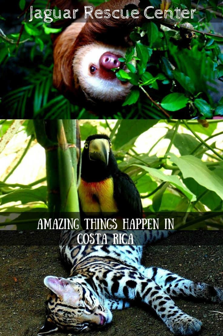 Amazing work being done at the Jaguar Rescue Center in Puerto Viejo, Costa Rica.