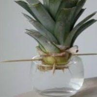 faire germer un ananas pour faire une plante