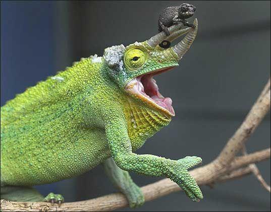 Jackson's Chameleon with Baby at Taronga Zoo Photo: Rick Stevens/SMH