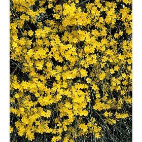 PN3416 Pflanzen - Baum & Strauch - Laubgehölze - Winter-Jasmin,1 Pflanze