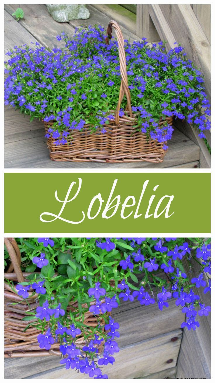 List of annual flowers ided by color sun amp shade types - Blue Lobelia Is A Wonderful Annual To Add To Your Garden This Year It Comes